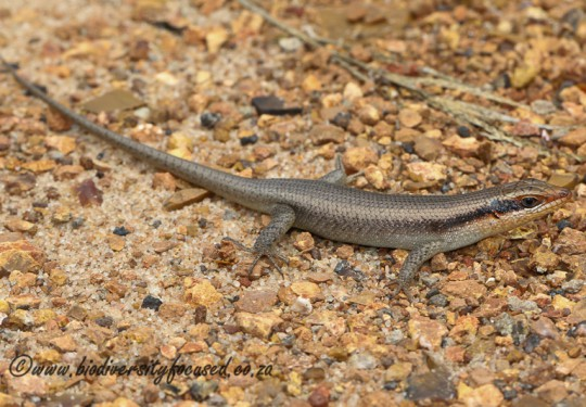 Wahlbergs Skink (Trachylepis wahlbergii)