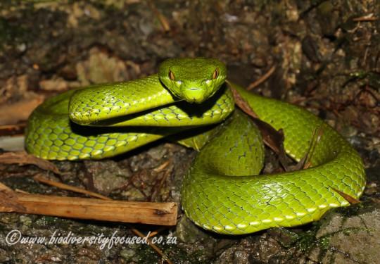 Chinese Green Tree Viper (Trimeresurus stejnegeri)
