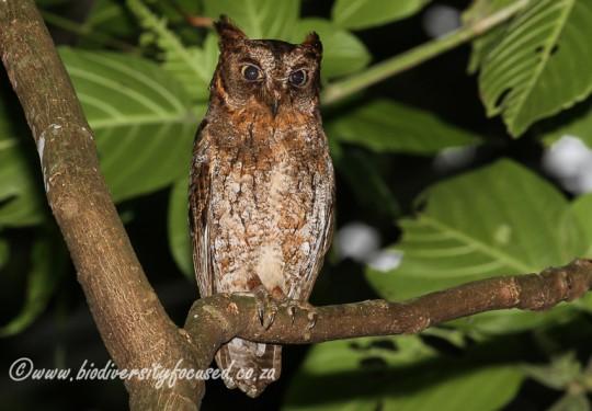 Elegant Scops Owl (Otus elegans)