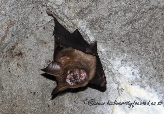 Formosan Leaf-nosed Bat (Hipposideros armiger terasensis)