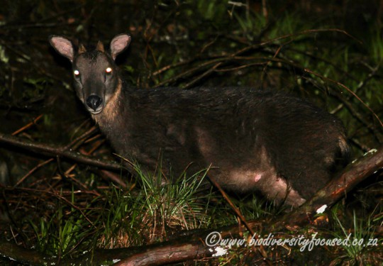 Formosan Serow (Capricornis swinhoei)