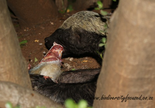 Honey Badger (Mellivora capensis) eating a vervet monkey