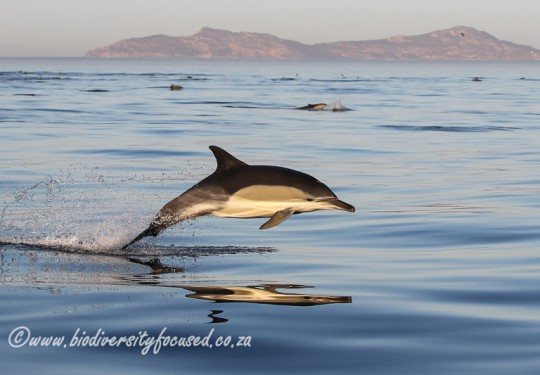 Long-beaked Common Dolphin (Delphinus capensis)