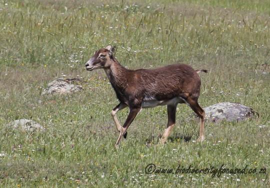 Mouflon (Ovis orientalis)