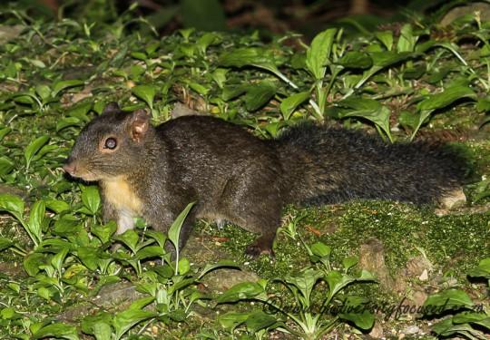 Pallas Squirrel (Dremomys pernyi owstoni)