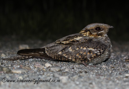 Red-necked nightjar (Caprimulgus ruficollis)