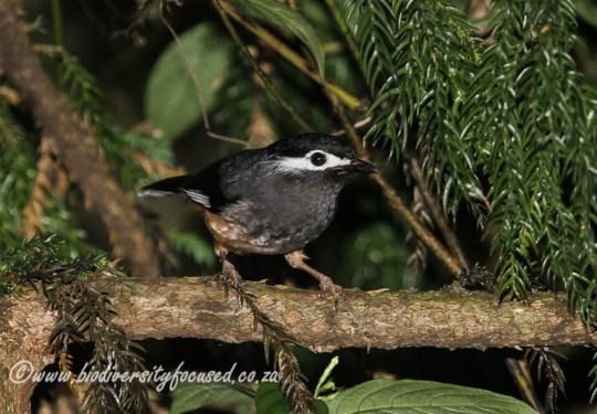 Taiwan Sibia (Heterophasia auricularis)