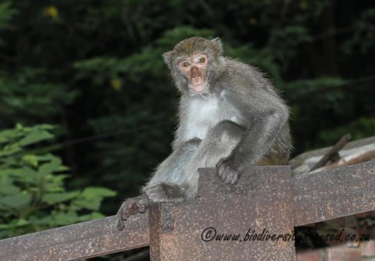 Taiwanese Macaque (Macaca cyclopsis)
