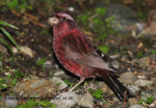 Vinaceous Rosefinch (Carpodacus vinaceus)