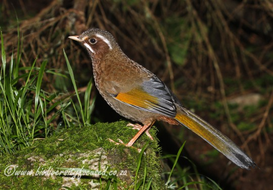 White-whiskered Laughingthrush (Garrulax morrisonianus)