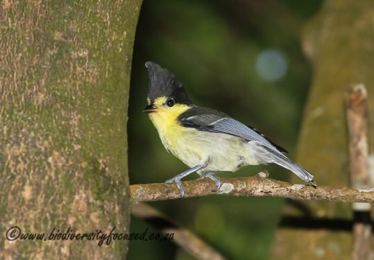 Yellow Tit (Parus holsti)