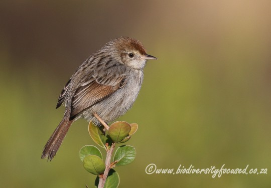 Grey-backed Cisticola (Cisticola subruficapilla)