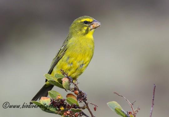 Brimstone Canary (Crithagra sulphuratus)