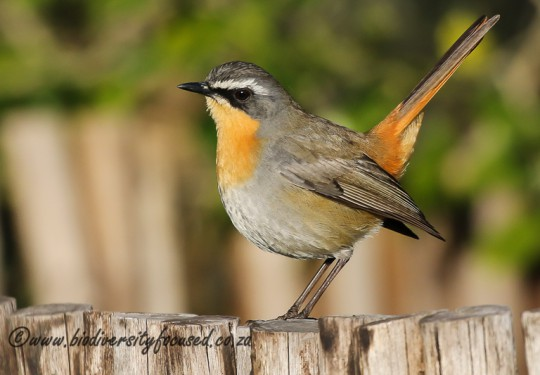 Cape Robin-Chat (Cossypha caffra)