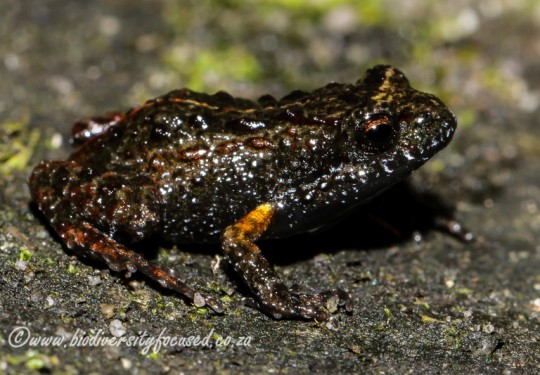 Riviersonderend Mountains Moss Frog (Arthroleptella atermina)