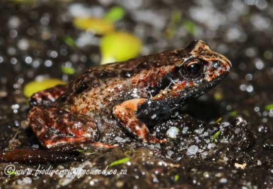 Cape Peninsula Moss Frog (Artroleptella lightfooti)