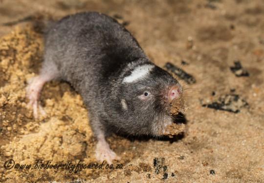 Damara Mole-rat (Fukomys damarensis)