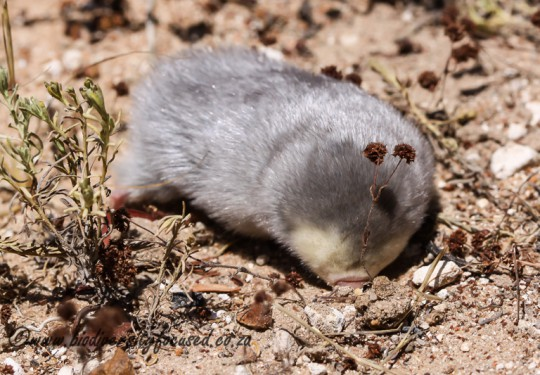 Grants Golden Mole (Eremitalpa granti)