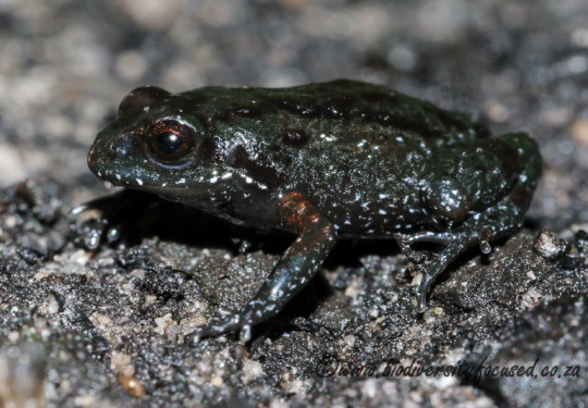 Klein Drakenstein Mountain Moss Frog (Arthroleptella draconella)