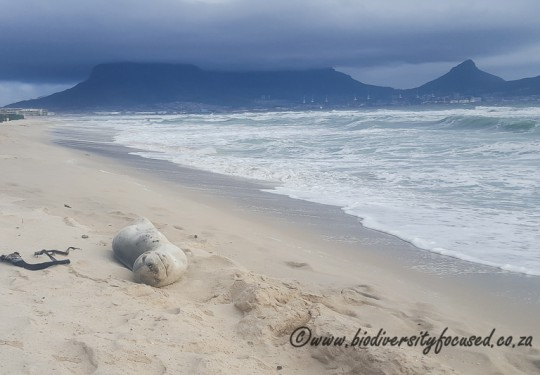 Leopard Seal (Hydrurga leptonyx) with Table Mountain in the background