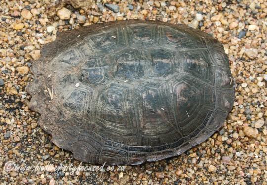 Serrated Hinged Terrapin (Pelusios sinuatus)