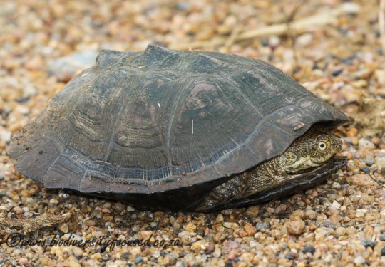 Serrated Hinged Terrapin (Pelusios sinuatus)