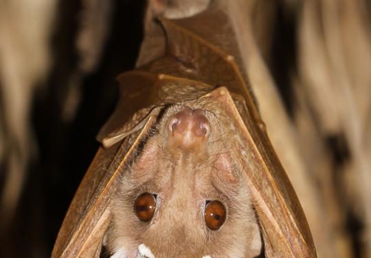 Wahlbergs Epauletted Fruit-bat (Epomophorus wahlbergi)