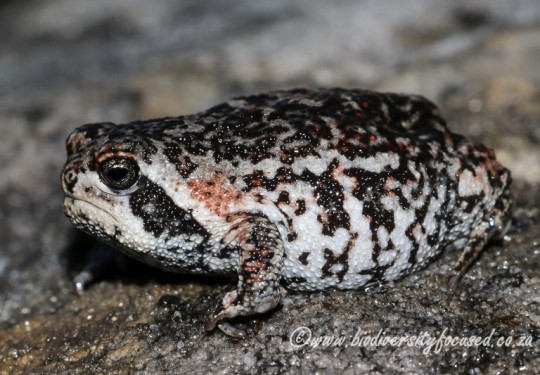 Cape Mountain Rain Frog (Breviceps montanus)
