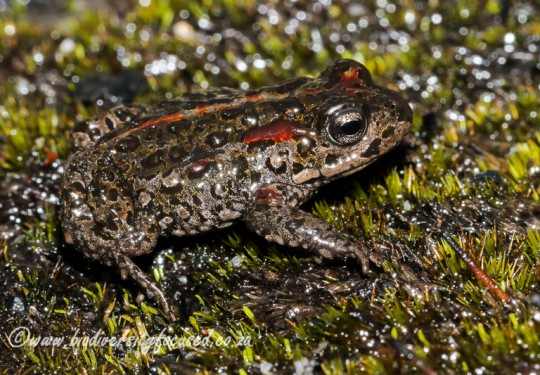 Landdroskop Mountain Toadlet (Capensibufo magistratus)