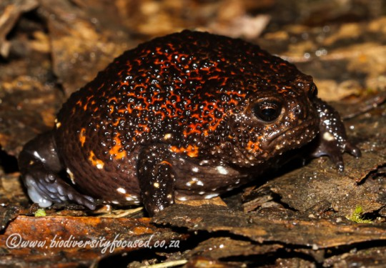 Strawberry Rain Frog (Breviceps acutirostris)