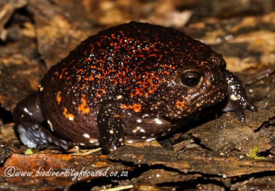 Strawberry Rain Frog (Breviceps acutirostris)