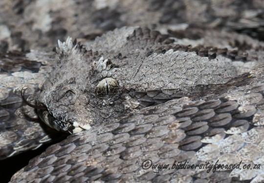Albany Adder (Bitis albanica)