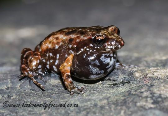 Bainskloof Moss Frog (Arthroleptella bicolor)