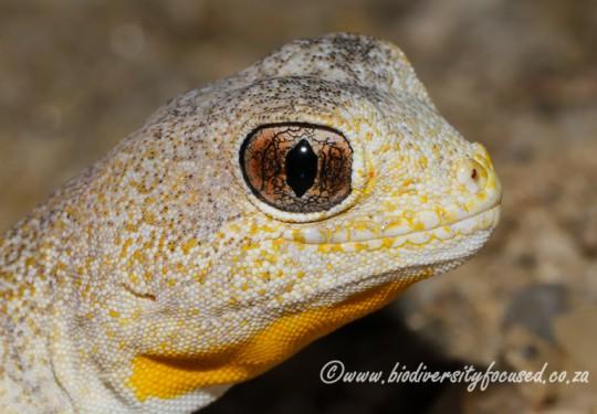 Carps Barking Gecko (Ptenopus carpi)