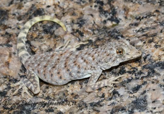 Common Day Gecko (Rhoptropus afer)