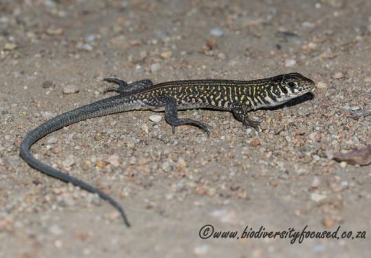 Karoo Sandveld Lizard (Nucras livida)