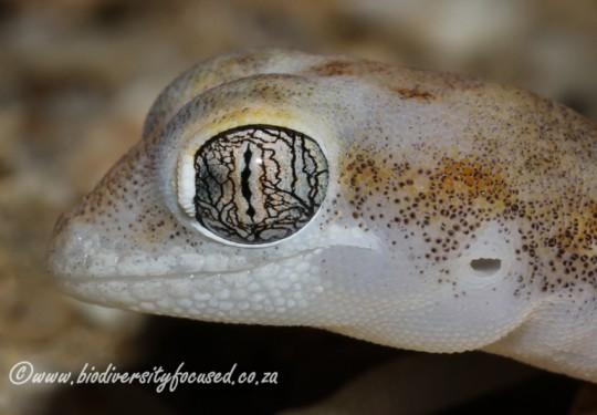 Kochs Thick-toed Gecko (Pachydactylus kochii)