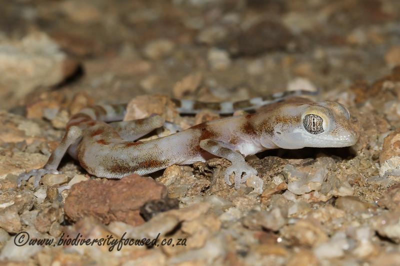 Koch's Thick-toed Gecko (Pachydactylus kochii) © Dorse