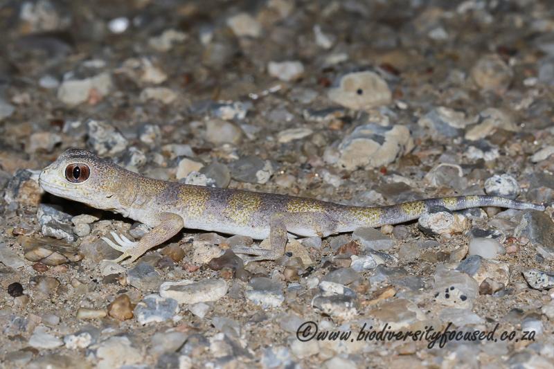 Carp's Barking Gecko (Ptenopus carpi) © Dorse