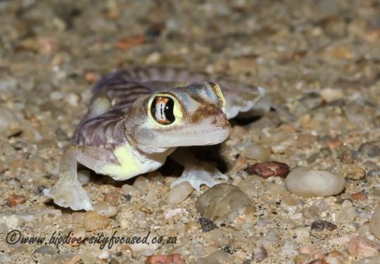 Namib Dune Gecko (Pachydactylus rangeri)