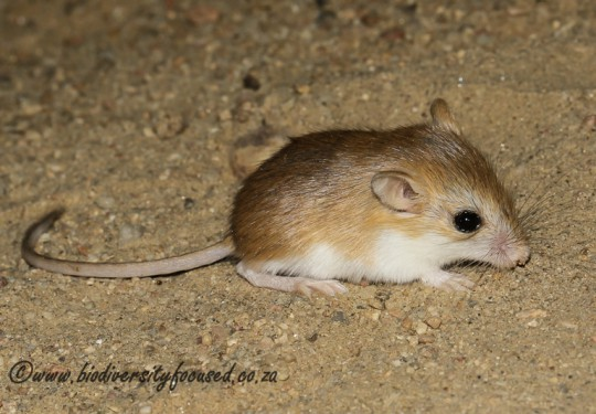 Setzers Hairy-footed Gerbil (Gerbillurus setzeri)