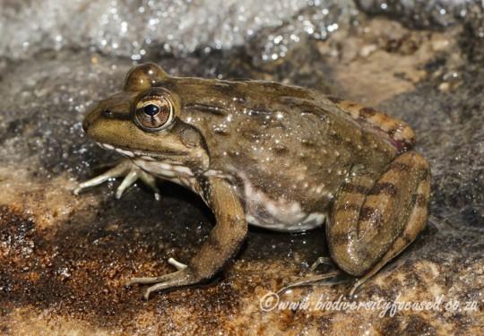 Van Dijks River Frog (Amietia vandijki)