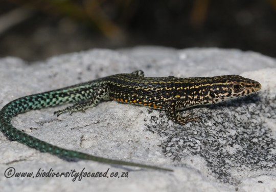 Cape Mountain Lizard (Tropidosaura gularis)