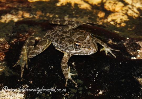Cape River Frog (Amietia fuscigula)