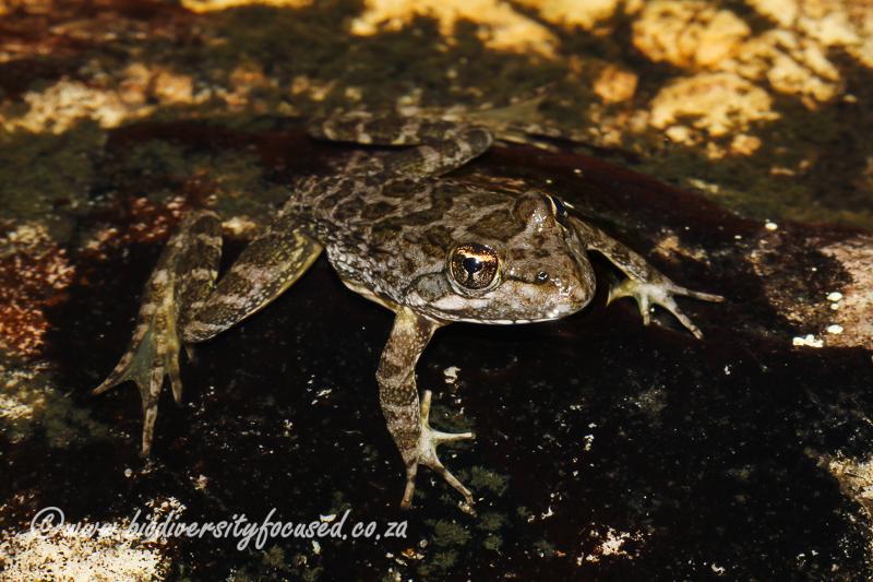 Cape River Frog (Amietia fuscigula) © Dorse