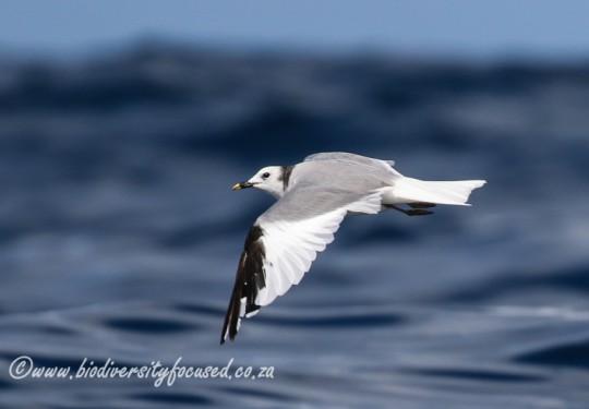 Sabines Gull (Larus sabini)