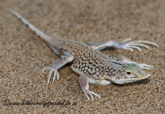 Shovel-snouted Lizard (Meroles anchietae)
