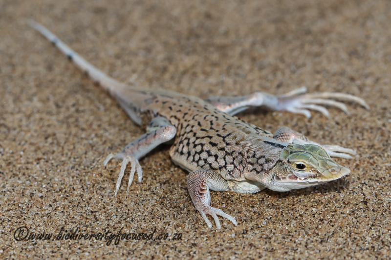 Shovel-snouted Lizard (Meroles anchietae) © Dorse