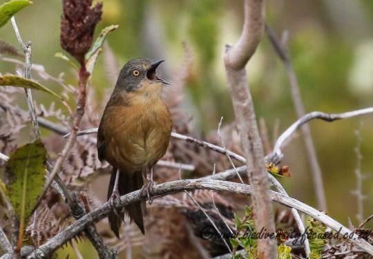 Victorins Warbler (Bradypterus victorini)