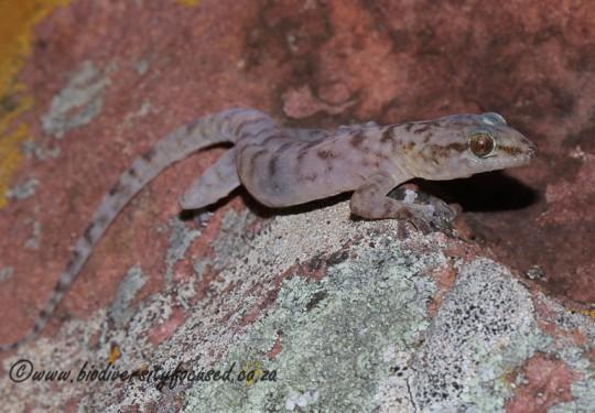 Broadleys Flat Gecko (Afroedura broadleyi)